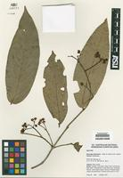 Isotype of Barongia lophandra Peter G. Wilson & B. Hyland [family MYRTACEAE]