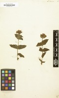 Filed as Lonicera dioica [family ]