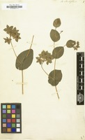 Filed as Bupleurum rotundifolium [family UMBELLIFERAE]