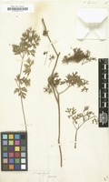 Filed as Selinum seguieri [family UMBELLIFERAE]