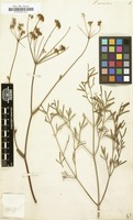 Filed as Peucedanum arenarium [family UMBELLIFERAE]