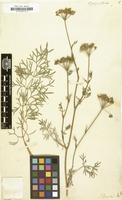 Filed as Seseli pimpinelloides [family UMBELLIFERAE]