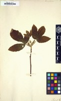 Filed as Ornitrophe pubescens [family SAPINDACEAE]