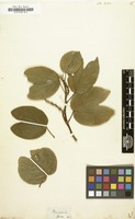 Filed as Bauhinia dubia [family LEGUMINOSAE-CAESALPINIOIDEAE]