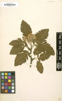 Filed as Sorbus hybrida [family ROSACEAE]