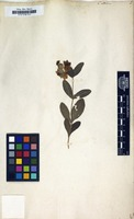 Filed as Cistus albidus L. [family CISTACEAE]