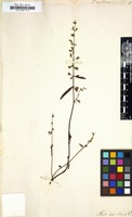 Filed as Teucrium asiaticum L. [family LABIATAE]