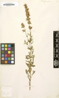 Filed as Hyssopus officinalis [family LABIATAE]
