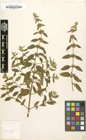 Filed as Mentha arvensis L. [family LABIATAE]