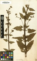 Filed as Scrophularia rugosa [family SCROPHULARIACEAE]