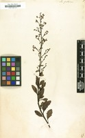 Filed as Scrophularia frutescens [family SCROPHULARIACEAE]