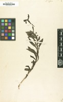 Filed as Capraria biflora L. [family SCROPHULARIACEAE]