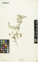 Filed as Alyssum arenarium [family CRUCIFERAE]