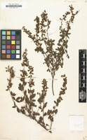 Filed as Cytisus nigricans [family LEGUMINOSAE-PAPILIONOIDEAE]