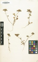 Filed as Trifolium striatum [family LEGUMINOSAE-PAPILIONOIDEAE]
