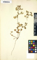 Filed as Medicago elegans [family LEGUMINOSAE-PAPILIONOIDEAE]