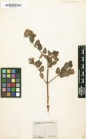 Filed as Eupatorium atriplicifolium [family COMPOSITAE]