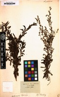 Filed as Artemisia japonica [family COMPOSITAE]