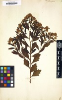 Filed as Baccharis halimifolia [family COMPOSITAE]
