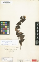 Isotype of Baccharis volubilis Kunth [family COMPOSITAE]