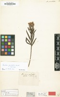 Isotype of Baccharis gnidiifolia Kunth [family COMPOSITAE]