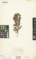 Filed as Baccharis bogotensis [family COMPOSITAE]
