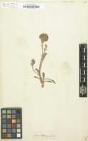 Filed as Senecio carniolicus Willd. [family COMPOSITAE]