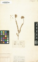 Filed as Aster strigosus [family COMPOSITAE]