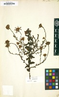 Filed as Aster patens [family COMPOSITAE]