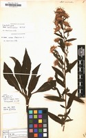 Lectotype of Aster versicolor Willd. [family COMPOSITAE]
