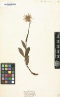 Filed as Arnica doronicum [family COMPOSITAE]