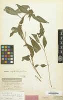 Isosyntype of Impatiens arguta Hook. f. & Thomson [family BALSAMINACEAE]