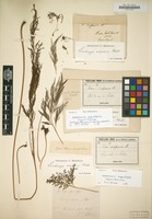 Lectotype of Sphenomeris scoparia [family POLYPODIACEAE]