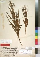 Holotype of Ornithoglossum calcicola K.Krause & Dinter [family LILIACEAE]