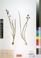 Holotype of Eulophia brachystyla Schltr. [family ORCHIDACEAE]