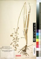 Type of Deschampsia latifolia Hochst. ex A.Rich. [family GRAMINEAE]