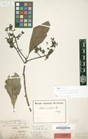 Holotype of Oreodaphne cuneata Nees [family LAURACEAE]