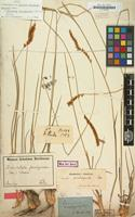 Lectotype of Panicum eriochrysioides Nees [family GRAMINEAE]