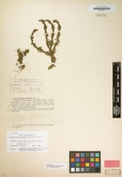Isotype of Lycopodium sikkimense Herter non Müll.Hal. [family LYCOPODIACEAE]