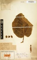 Type of Ficus rivae Warb. [family MORACEAE]