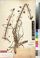 Holotype of Bulbine vesicularis Dinter ex Poelln. [family LILIACEAE]