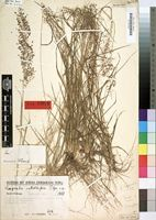Type of Eragrostis setulifera Pilg. [family GRAMINEAE]