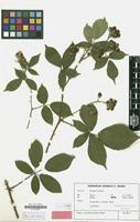 Isotype of Rubus conothyrsoides H.E.Weber [family ROSACEAE]