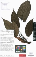 Isotype of Philodendron tricostatum Croat & D.C.Bay [family ARACEAE]