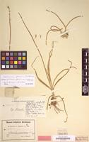Holotype of Anthericum glaucum var. ancachsense Poelln. [family LILIACEAE]