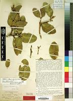 Holotype of Capparis stenosepala Urb. [family CAPPARACEAE]
