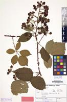 Isotype of Rubus amisiensis H.E.Weber [family ROSACEAE]