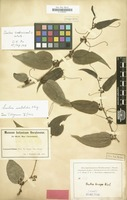 Type of Smilax brevipes Warb. [family LILIACEAE]