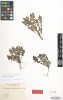 Paratype of Polyachyrus annuus I.M.Johnst. [family COMPOSITAE]