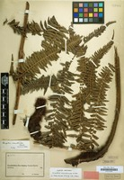 Holotype of Dryopteris marattioides Alston [family POLYPODIACEAE]
